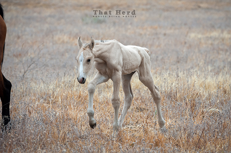 wild horse photography of a newborn foal walking