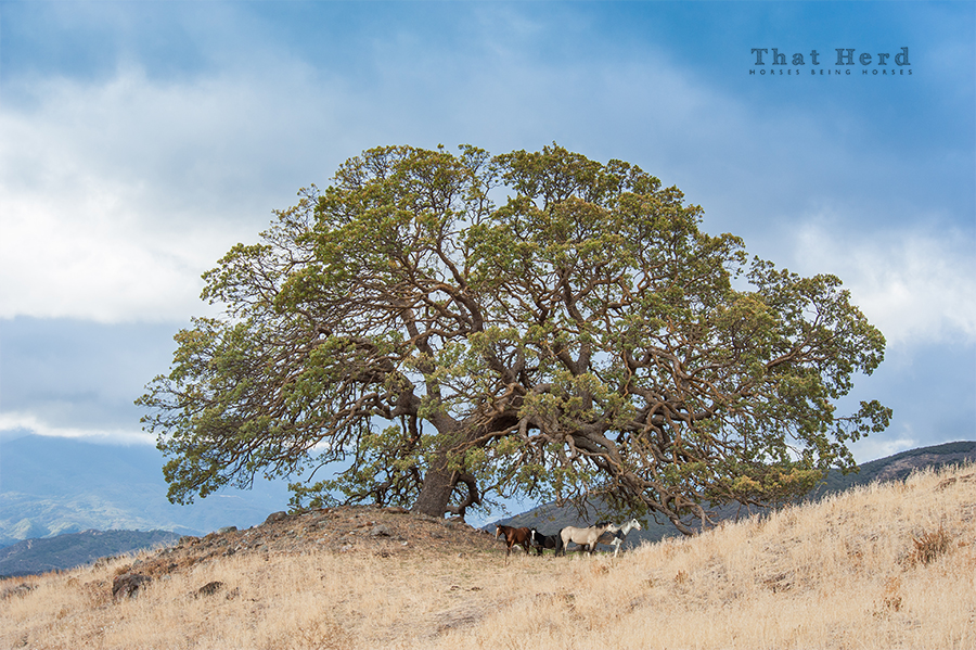 wild horse photography of horses under a massive oak tree
