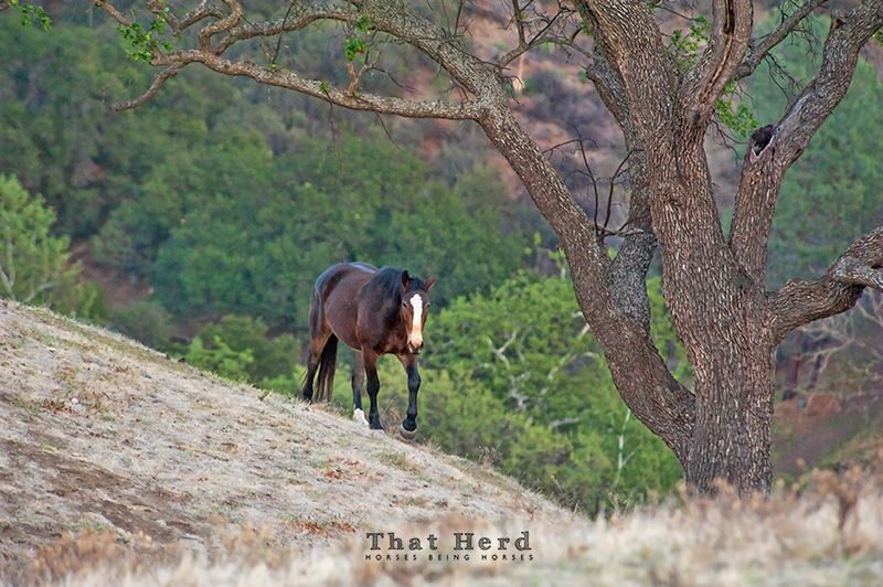 wild horse photography of a horse emerging from a wooded canyon