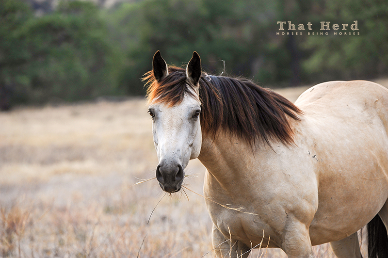 wild horse photography of a handsome buckskin horse