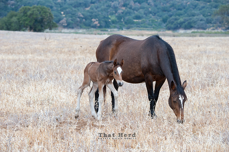 wild horse photography of a newborn foal and his quietly grazing mother