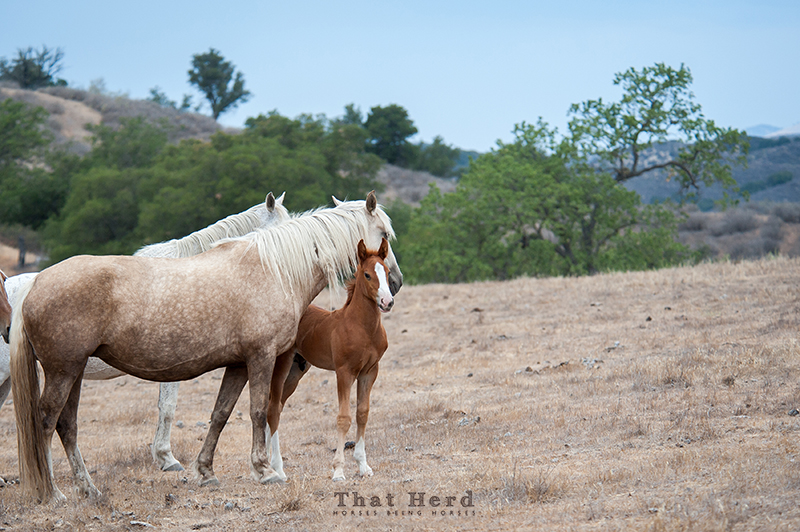 wild horse photography of a mare standing protectively with her colt