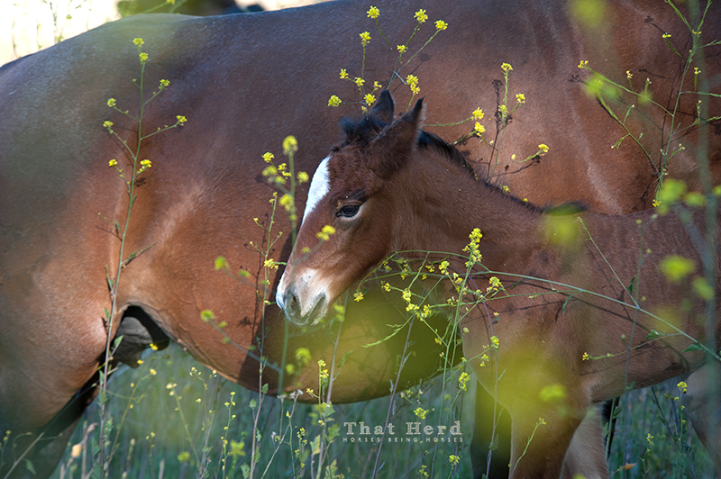 wild horse photography of an overwhelmed newborn foal