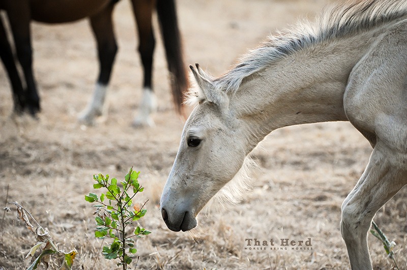 wild horse photography of a foal investigating fresh leaves