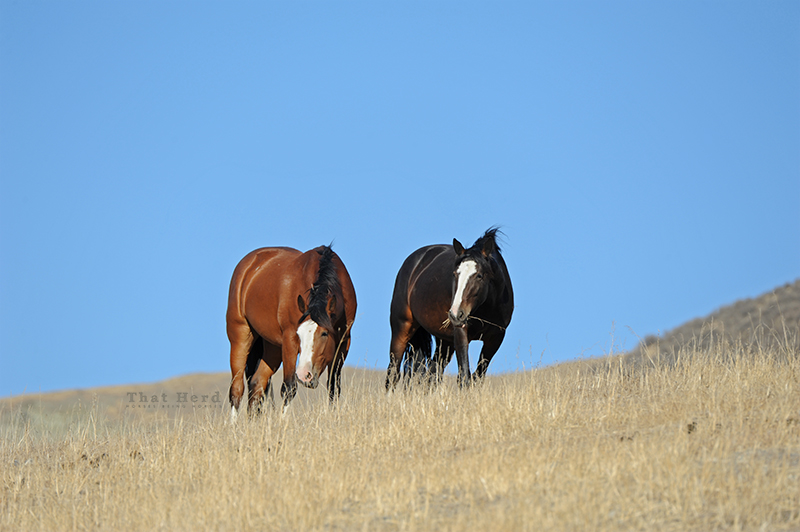wild horse photography of two horses grazing on a dry hillside