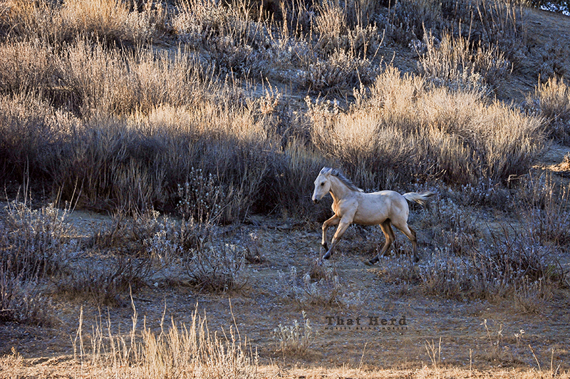 wild horse photography of a young colt galloping over uneven terrain