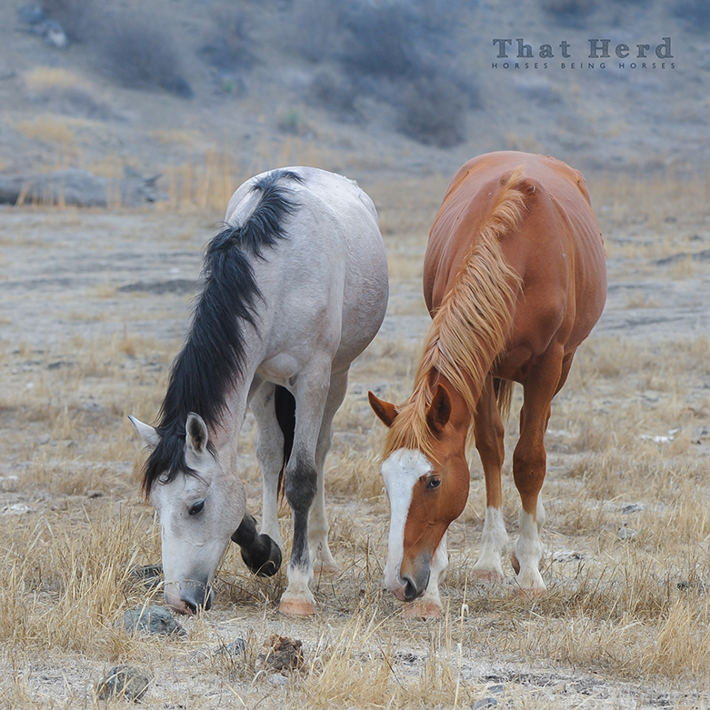 wild horse photography of two yearling colts sticking together