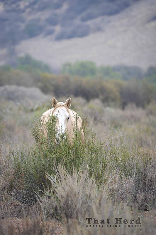 wild horse photography of a horse shielded by sagebrush