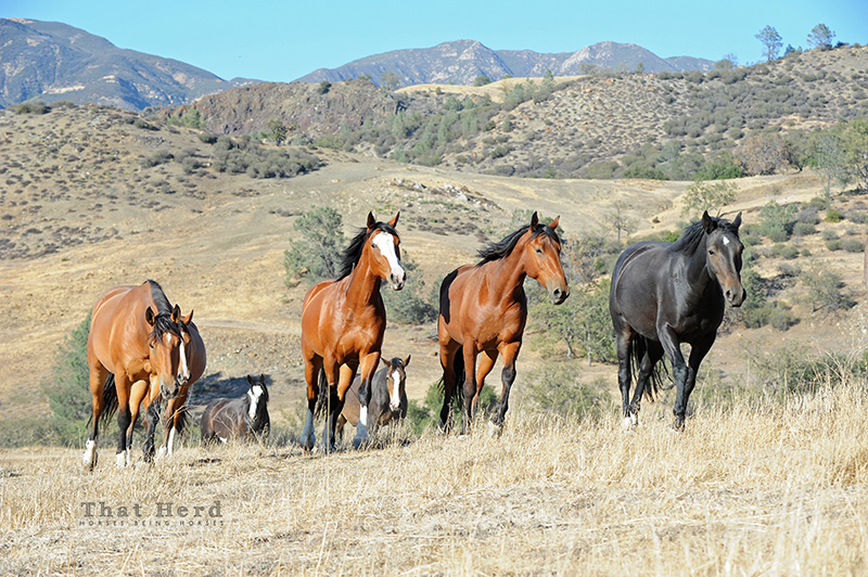 wild horse photography of horses moving through backcountry