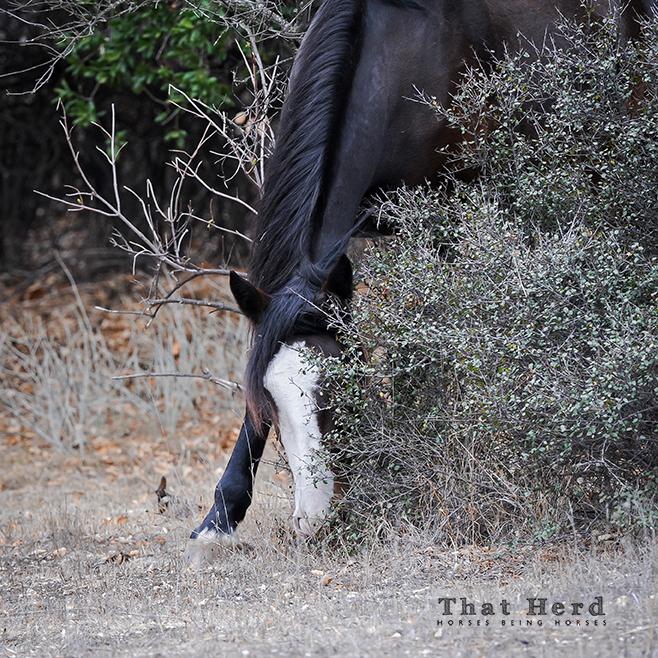 wild horse photography of a filly searching for hidden grass