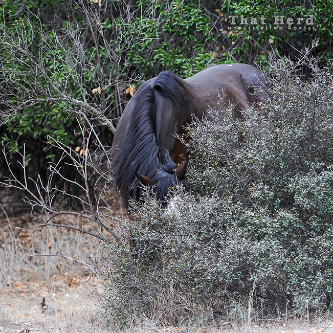 wild horse photography of a horse burying it's face deep into brush
