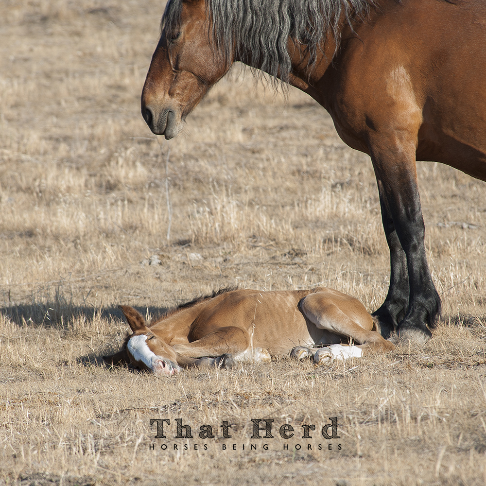 wild horse photography of a newborn colt in deep sleep