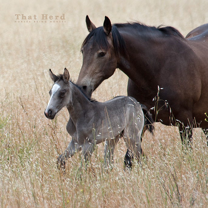 wild horse photography of a watchful mare with her new foal