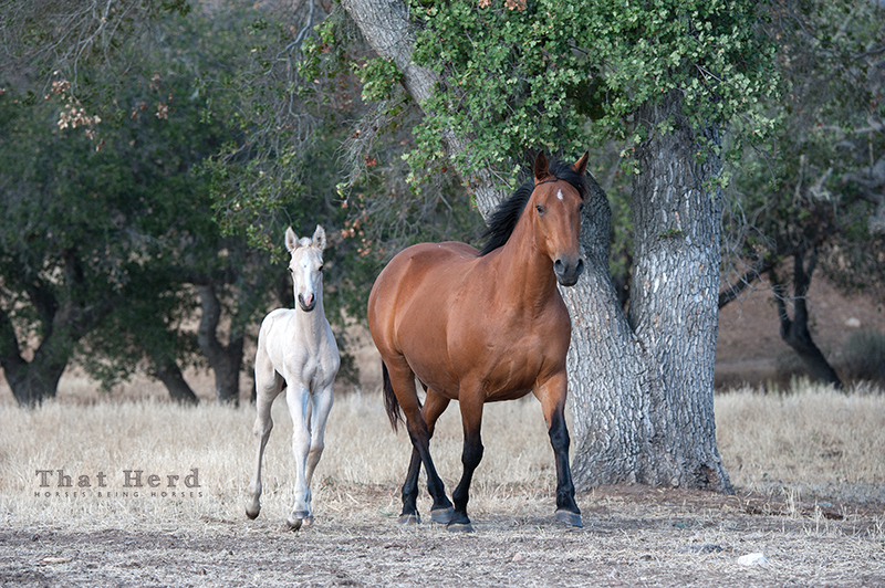 wild horse photography of a frisky mare and foal
