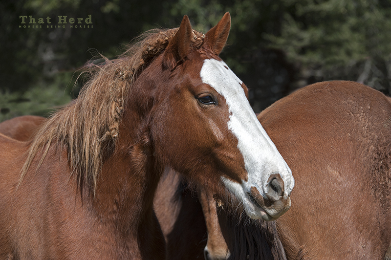 wild horse photography of burrs in the mane of a horse