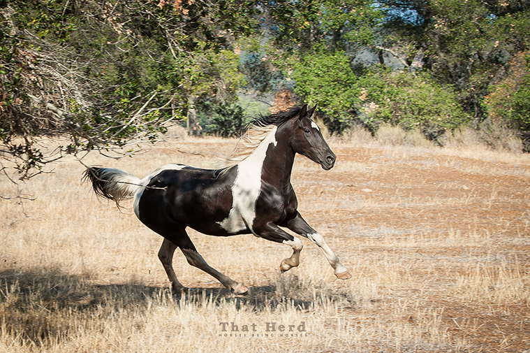 wild horse photography of a pretty galloping mare