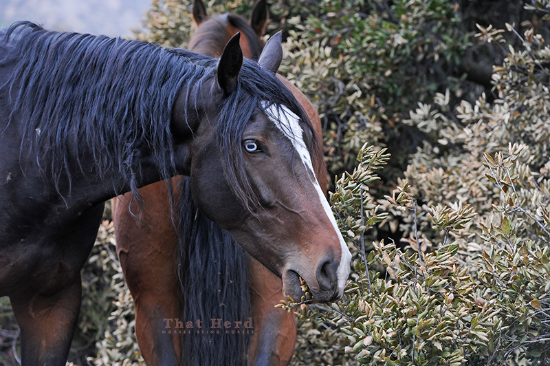 wild horse photography of a young horse eating sharp oak leaves