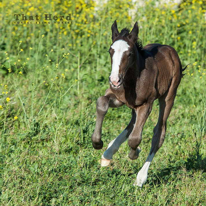 wild horse photography of a newborn foal galloping hours after birth