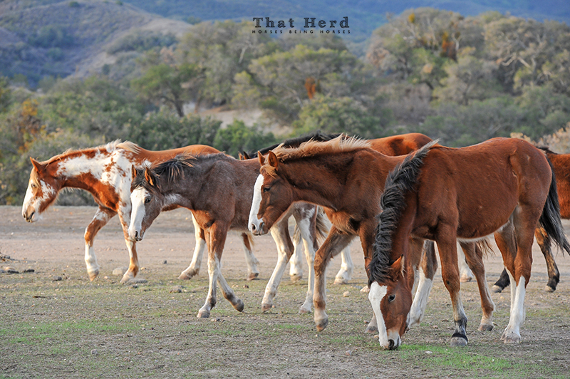 wild horse photography of young horses walking in a staggered line