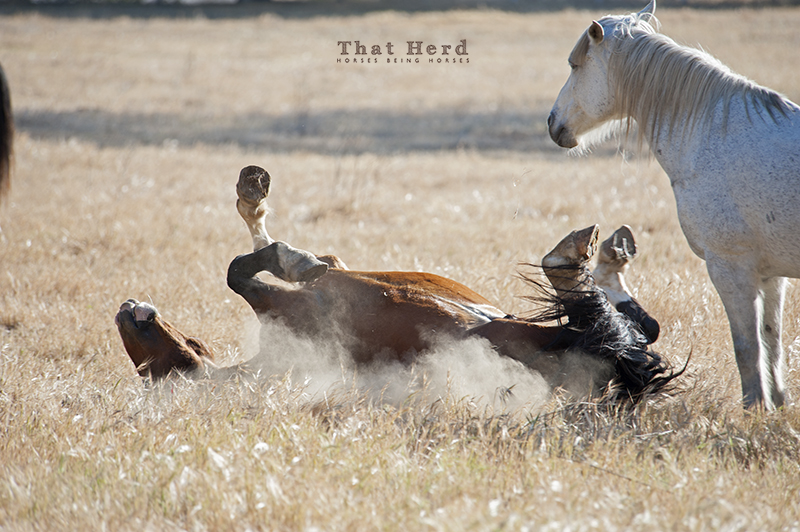 wild horse photography of a stallion rolling and scratching in dirt