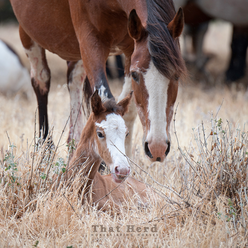 wild horse photography of a protective mare
