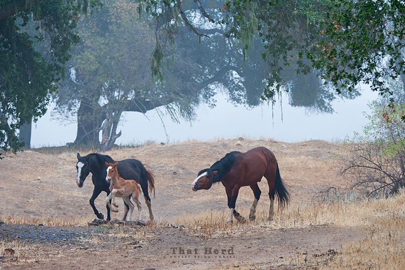 wild horse photography of a stallion driving a mare and foal closer to the herd