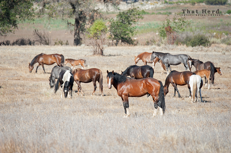 wild horse photography of a stallion and some mares and foals
