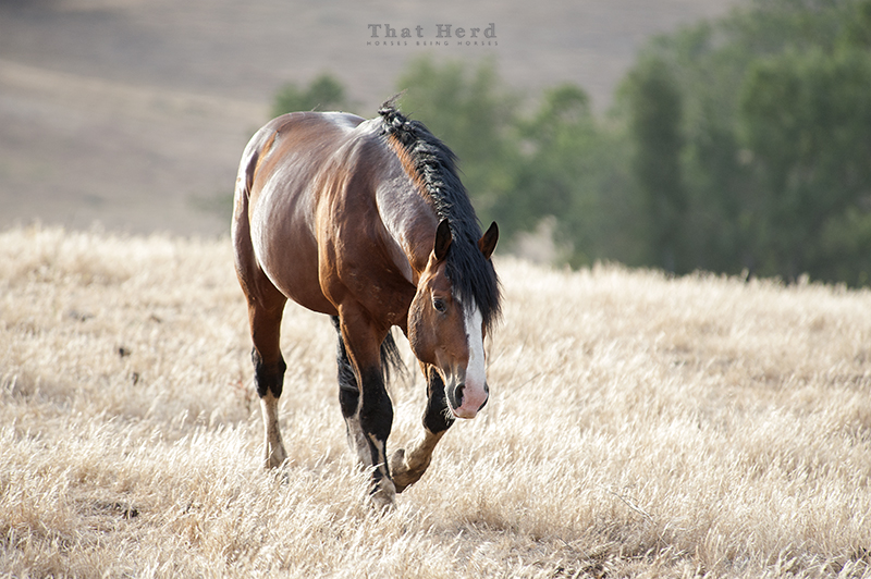wild horse photography of a stallion relaxed and content