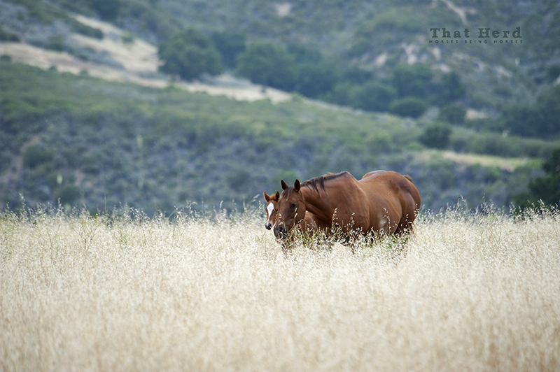 wild horse photography of a mare and foal in tall oats