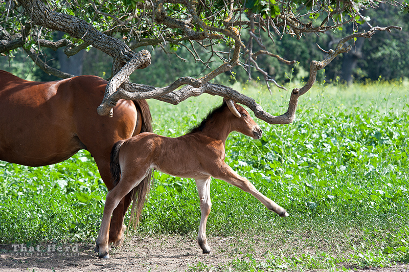wild horse photography of a foal using a branch to scratch