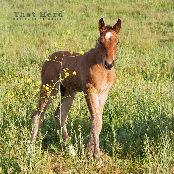 wild horse photography of a young foal and a tall weed