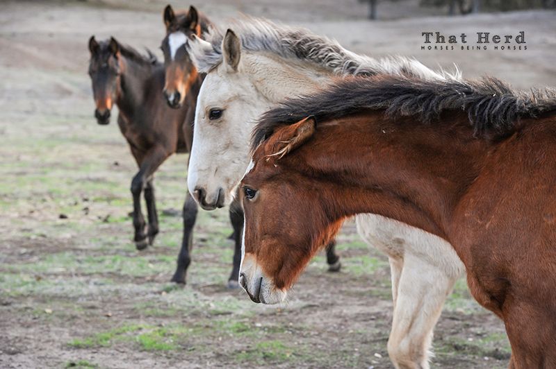 wild horse photography of weanling herd behavior