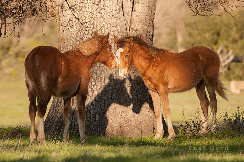 wild horse photography of two weaniling colts nuzzling
