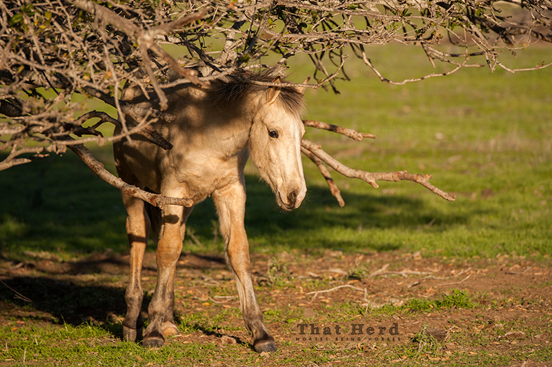 wild horse photography of a colt surrounded by tree braches