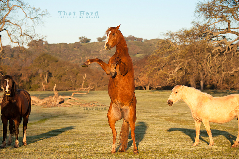 wild horse photography of an energetic young mare