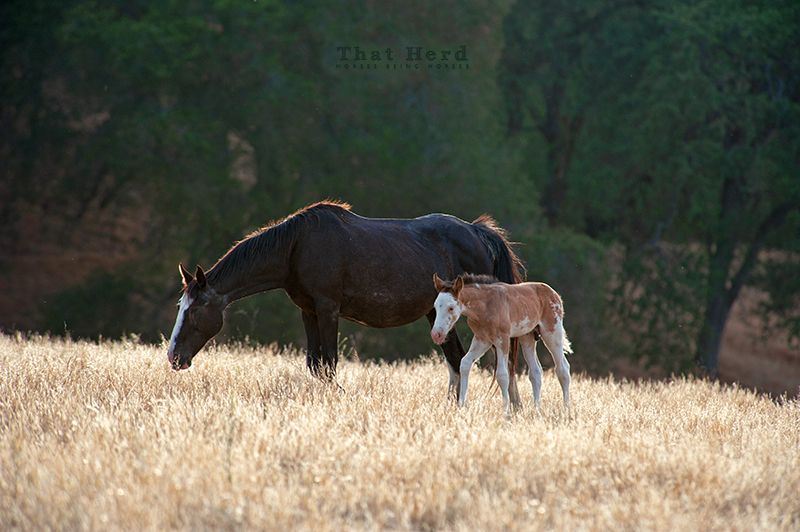 wild horse photography of an old mare and her young foal