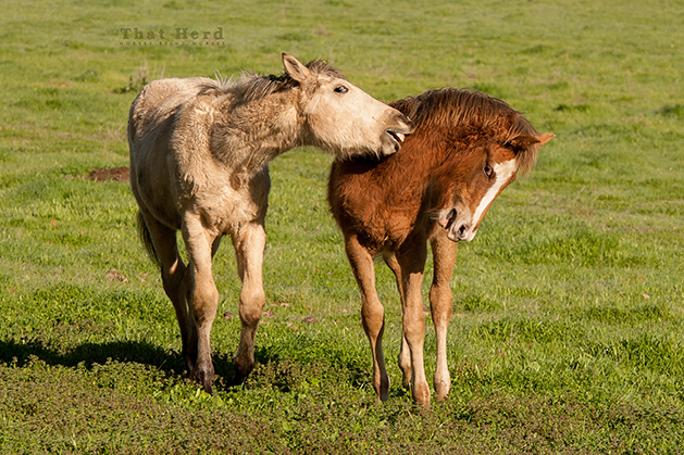 wild horse photography of colts play-biting