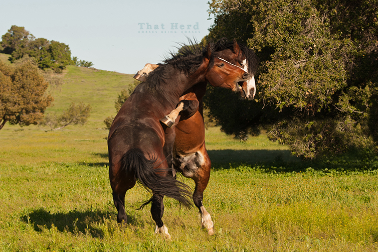 wild horse photography of two young stallions sparring