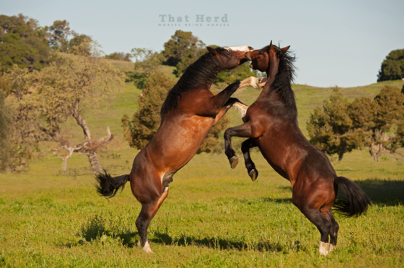 wild horse photography of two colts rearing in mock battle