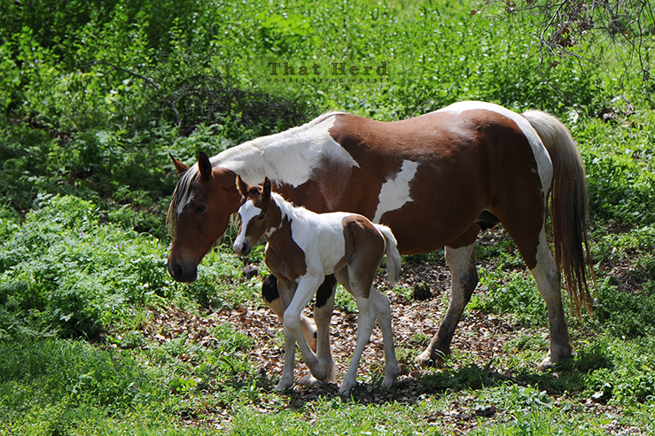 wild horse photography of a paint mare and hernewborn foal