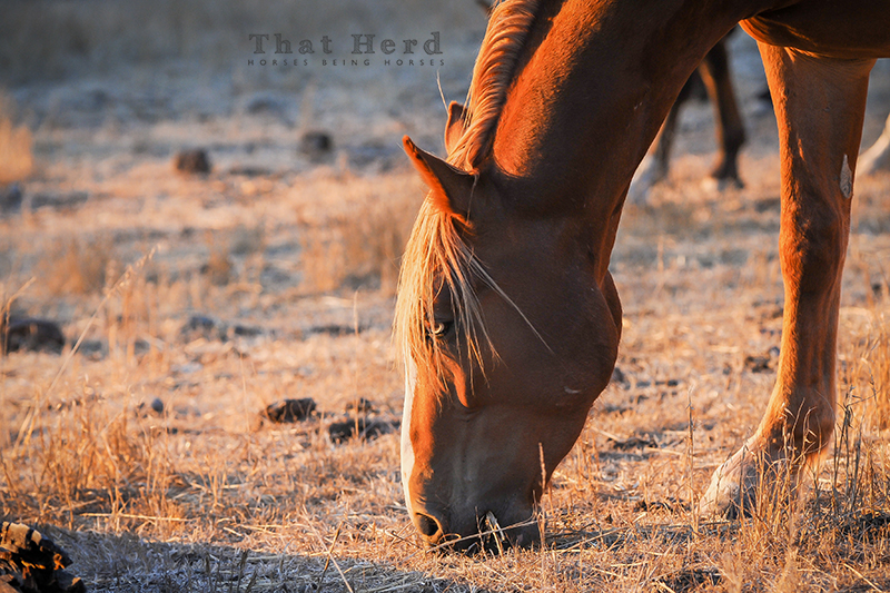 wild horse photography portrait of a grazing colt, golden in the setting sun