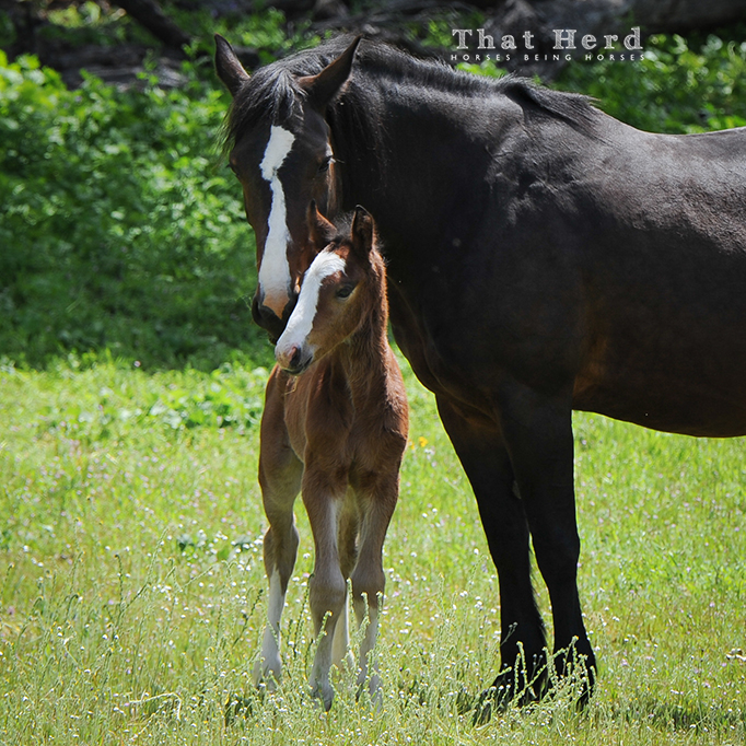 wild horse photography of a mare nuzzling her new foal