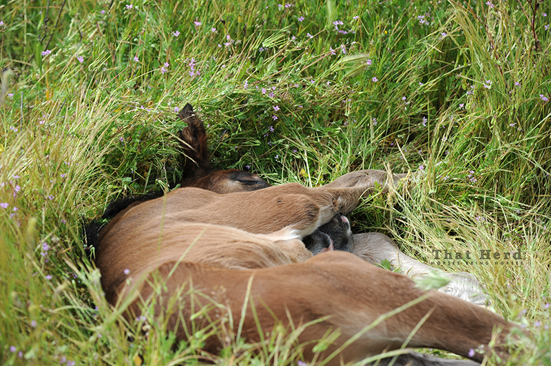 wild horse photography of a newborn foal sleeping in the grass