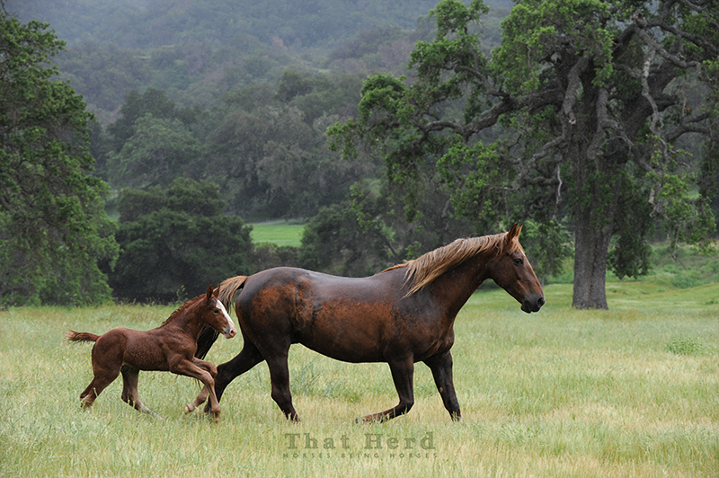 wild horse photography of a young mare and her new foal