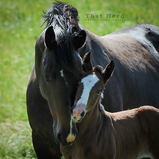 wild horse photography of a mare loving her foal