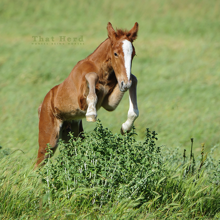 wild horse photography of a new foal performing a big jump