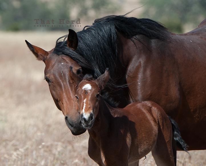 wild horse photography of a mare and newborn foal bonding