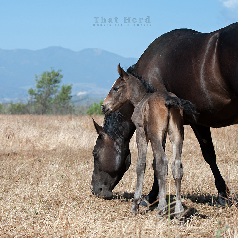 wild horse photography of a smokey-colored newborn colt
