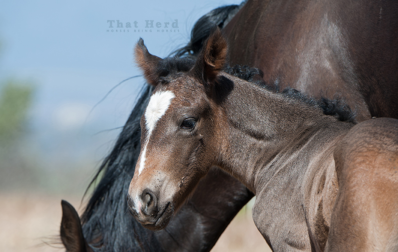 wild horse photography of an interesting feature on a new colt