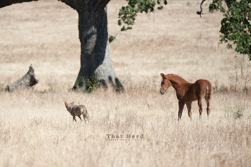 wild horse photography of a coyote and a colt